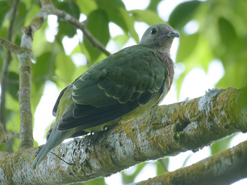 Pink-headed Fruit-Dove - Supaporn Teamwong