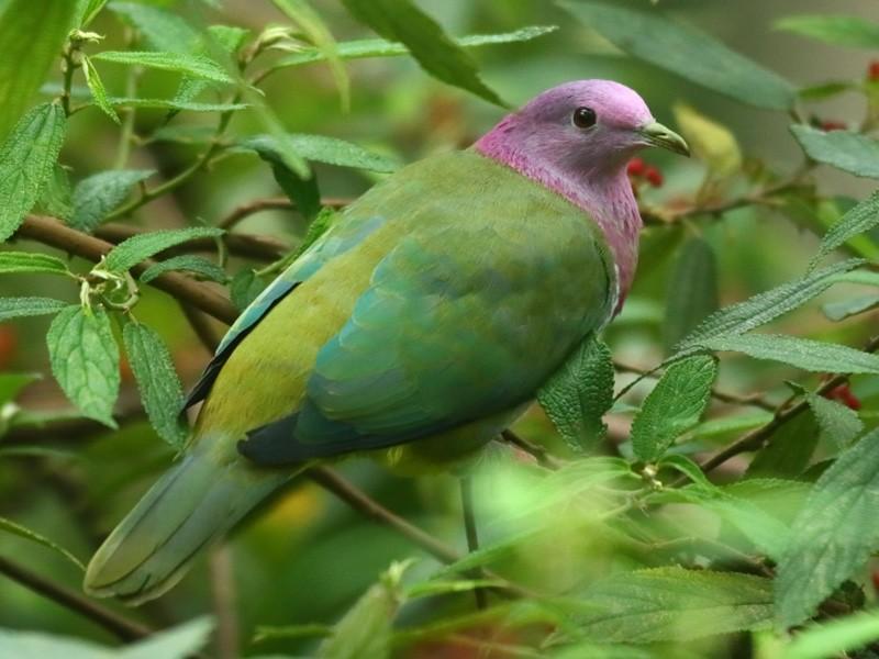 Pink-headed Fruit-Dove - Carlos Bocos