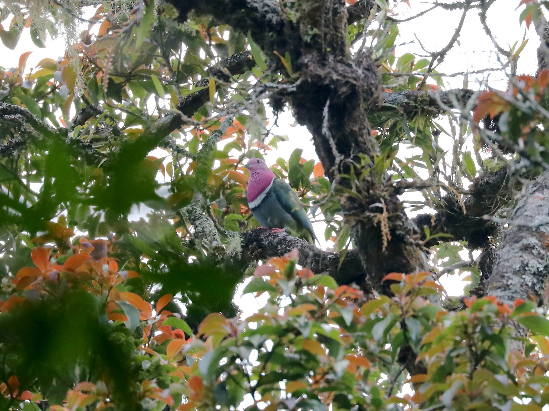 Pink-headed Fruit-Dove - Edmond Sham
