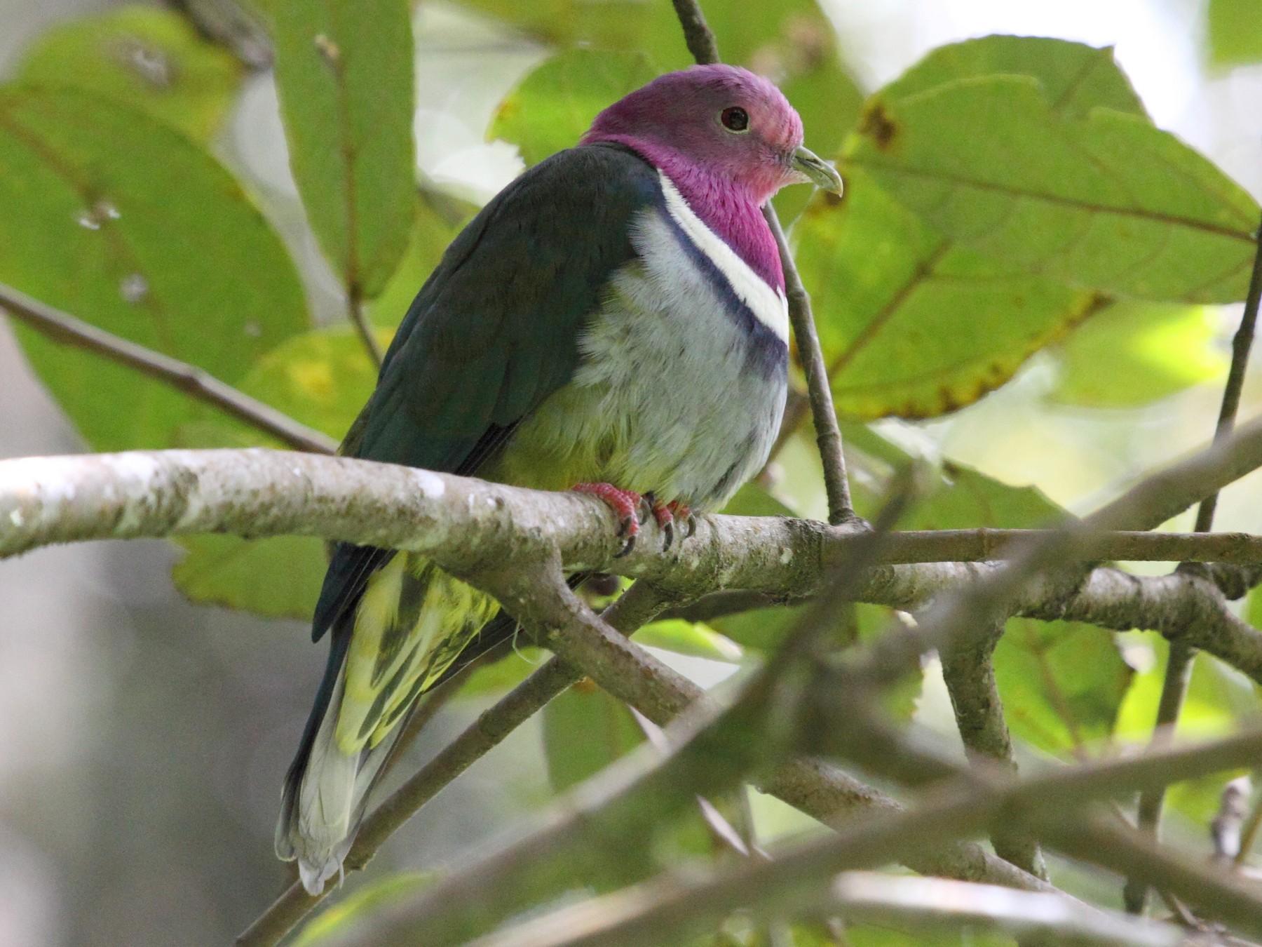 Pink-headed Fruit-Dove - Richard Fuller