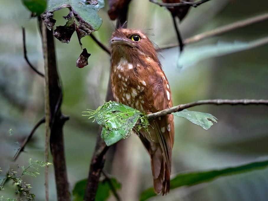 Sumatran Frogmouth - Lars Petersson