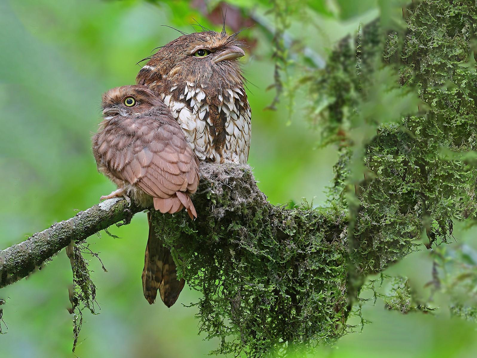 Sumatran Frogmouth - James Eaton