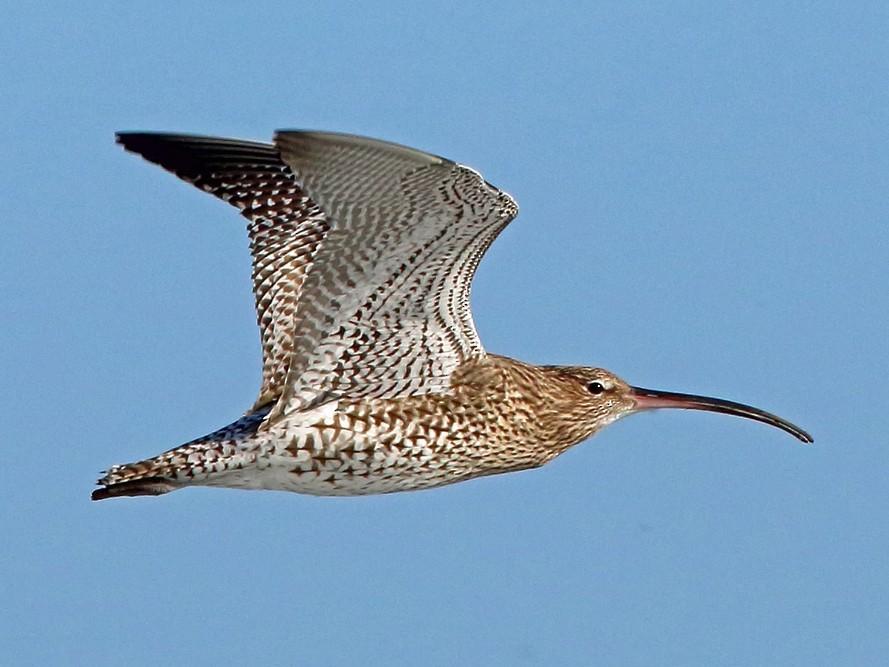 Eurasian Curlew - Nigel Voaden