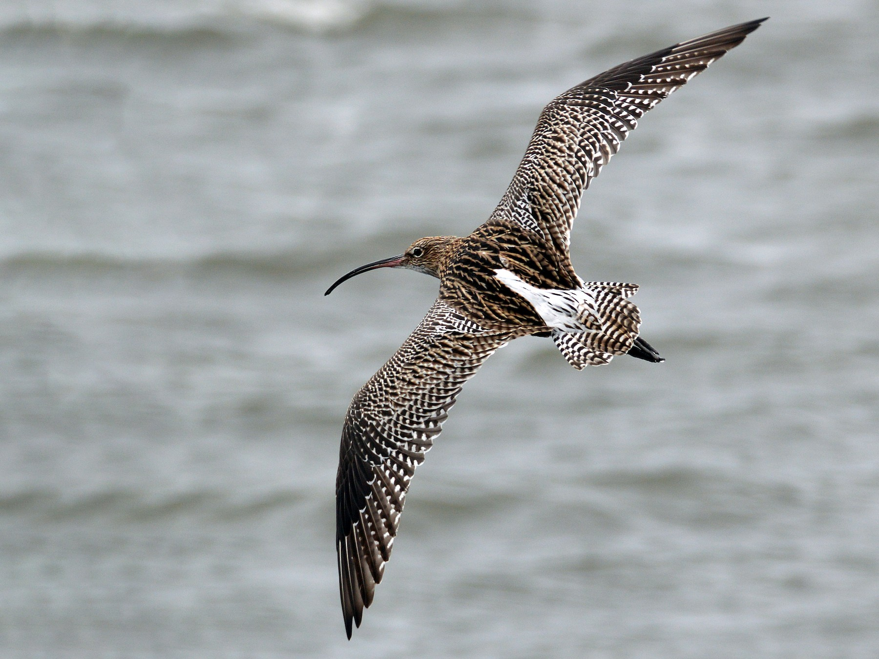 Eurasian Curlew - James L Taylor