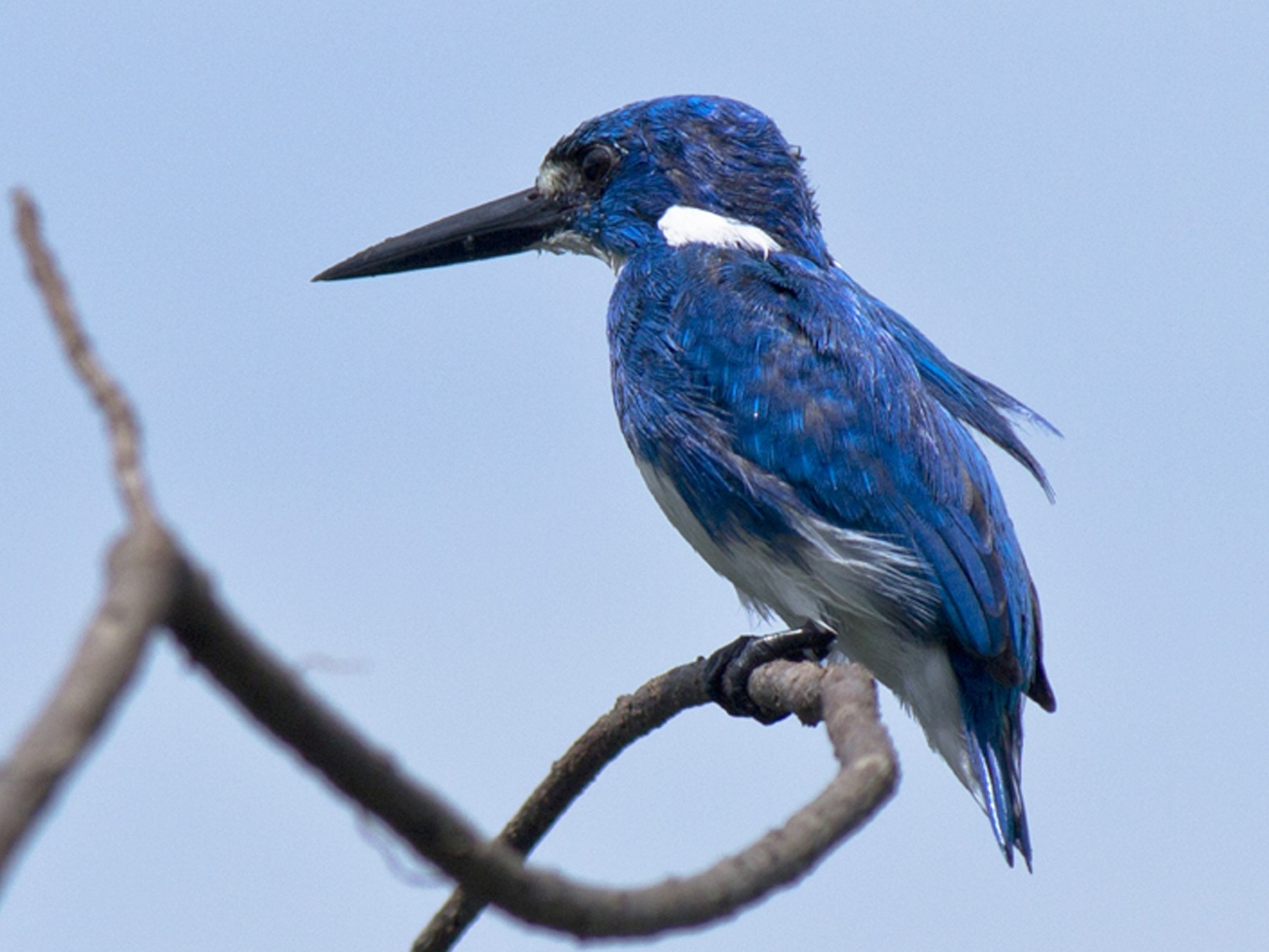 Small Blue Kingfisher - Rusman Budi  Prasetyo