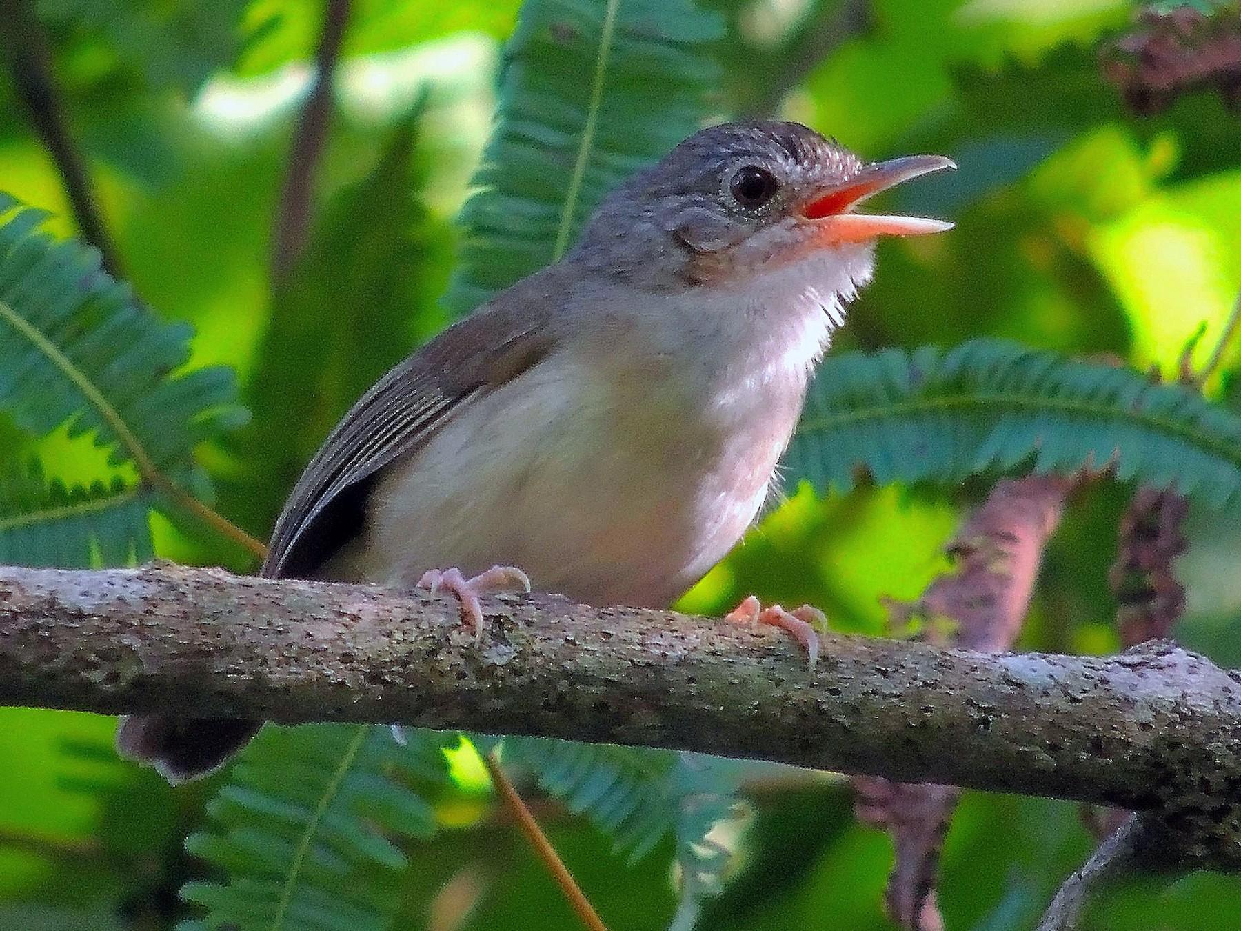 Sumatran Babbler - Agus Nurza