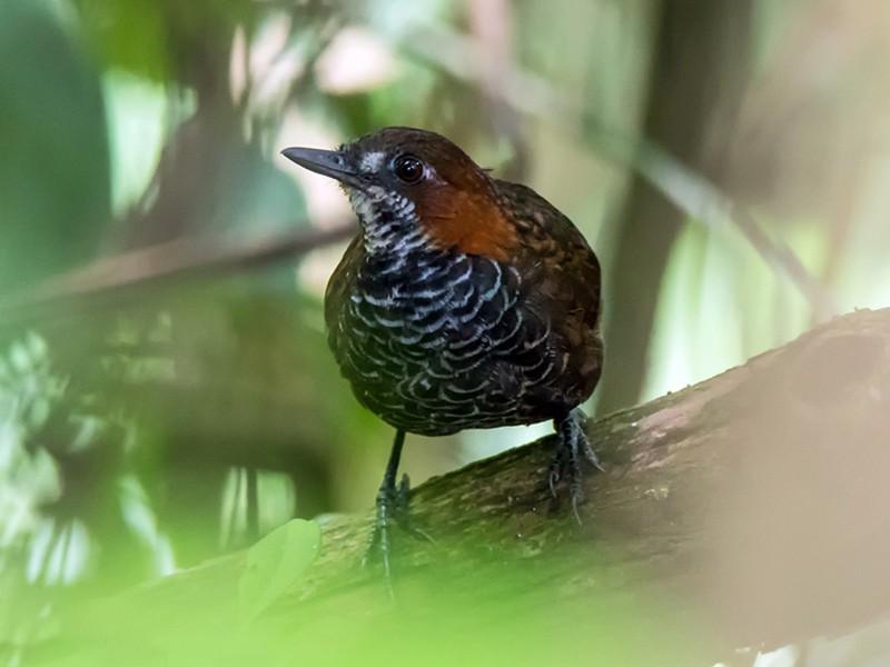 Marbled Wren-Babbler - liewwk birdtourmalaysia