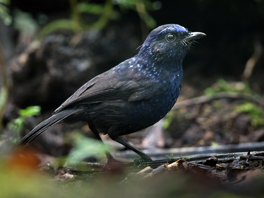 Shiny Whistling-Thrush - Lars Petersson