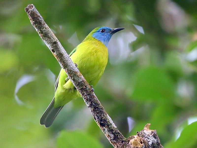 Blue-masked Leafbird - Carlos Bocos
