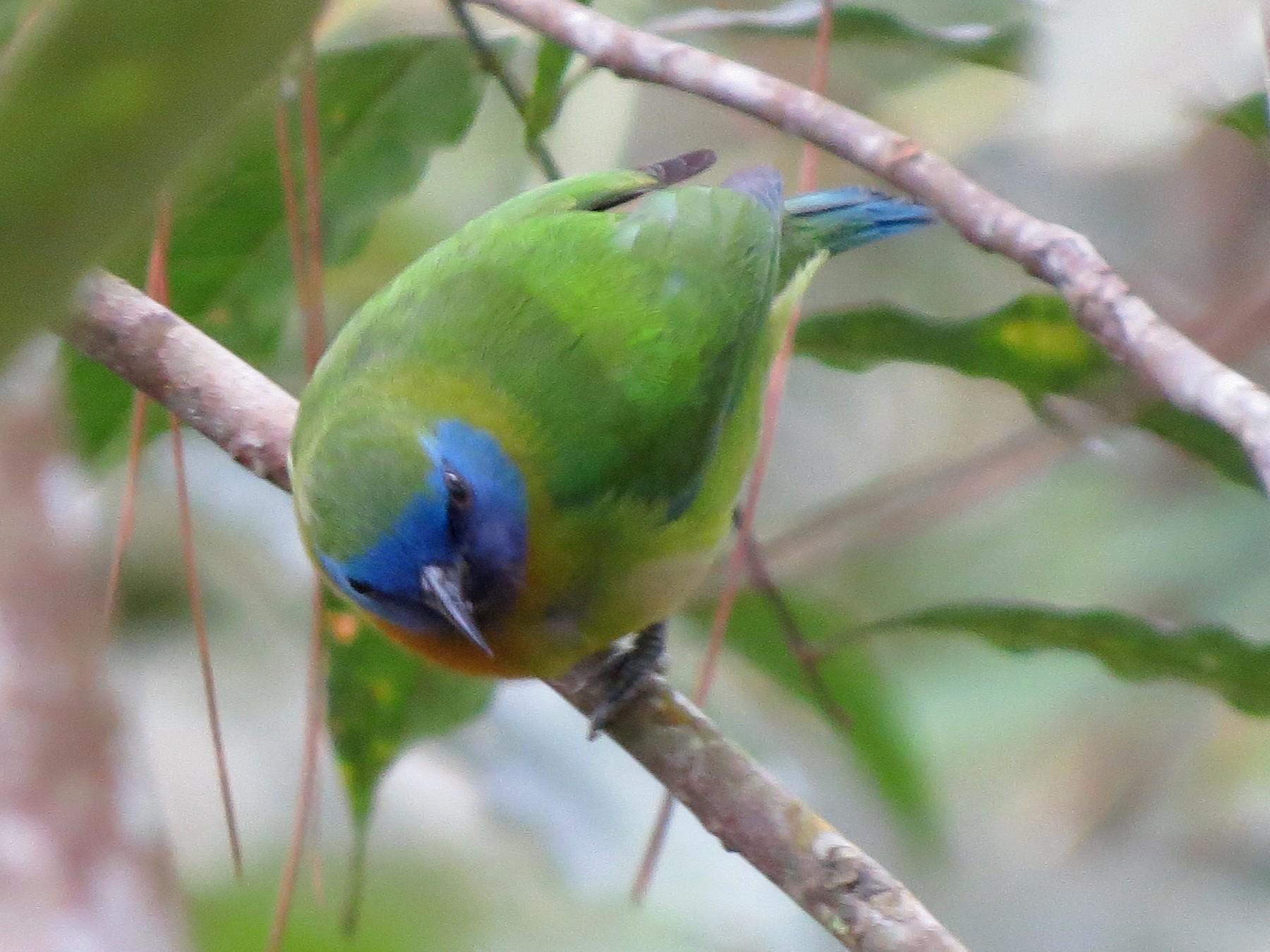 Blue-masked Leafbird - Tom Wheatley