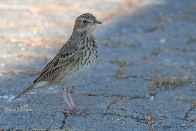 ©Rogério Rodrigues - Tree Pipit