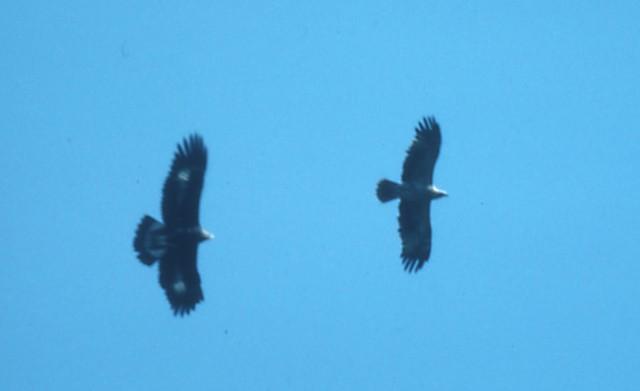Immature Golden Eagle (left) with Steppe Eagle (right) (<em>Aquila nipalensis</em>).