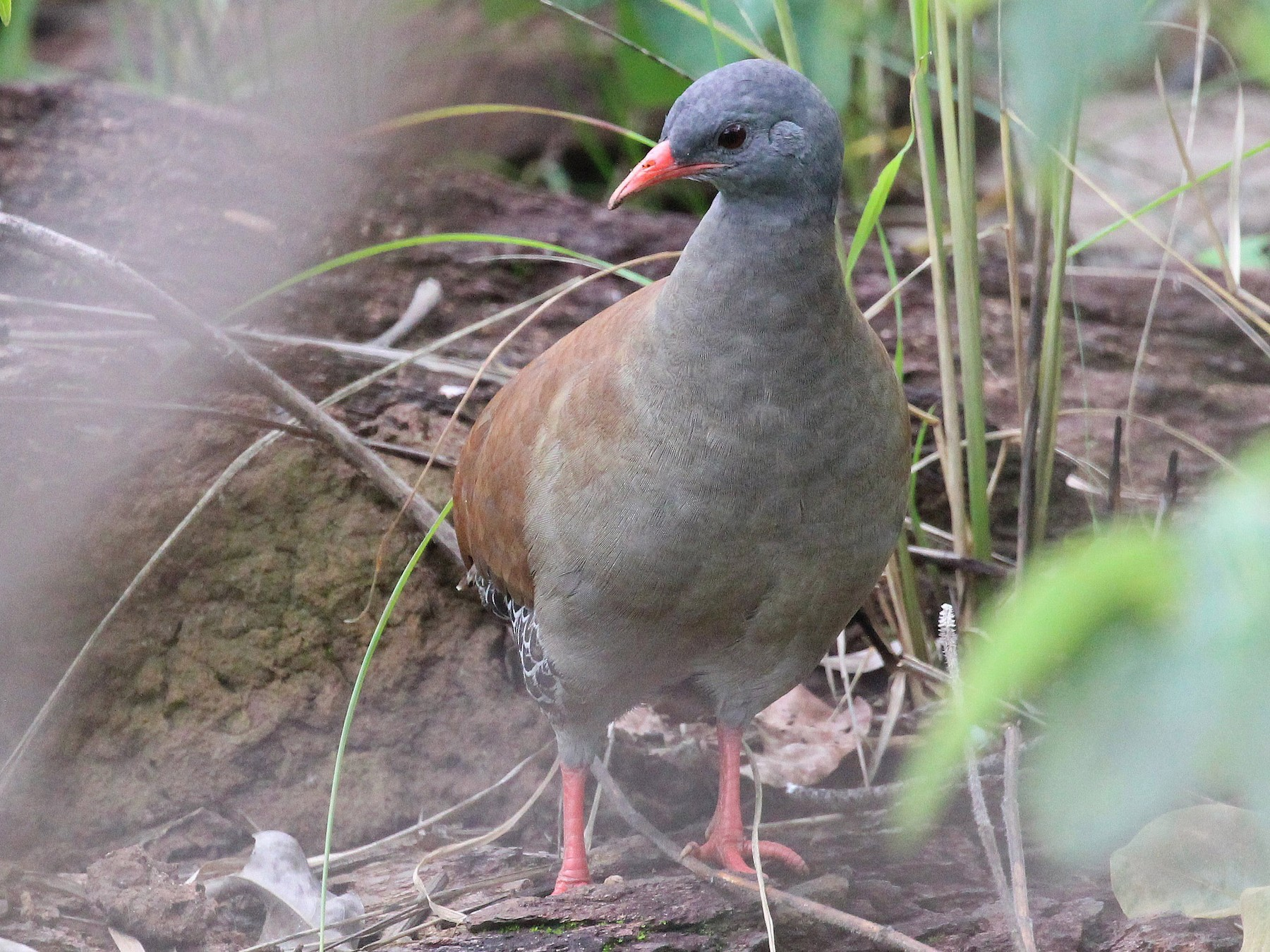 Small-billed Tinamou - Jayrson Oliveira