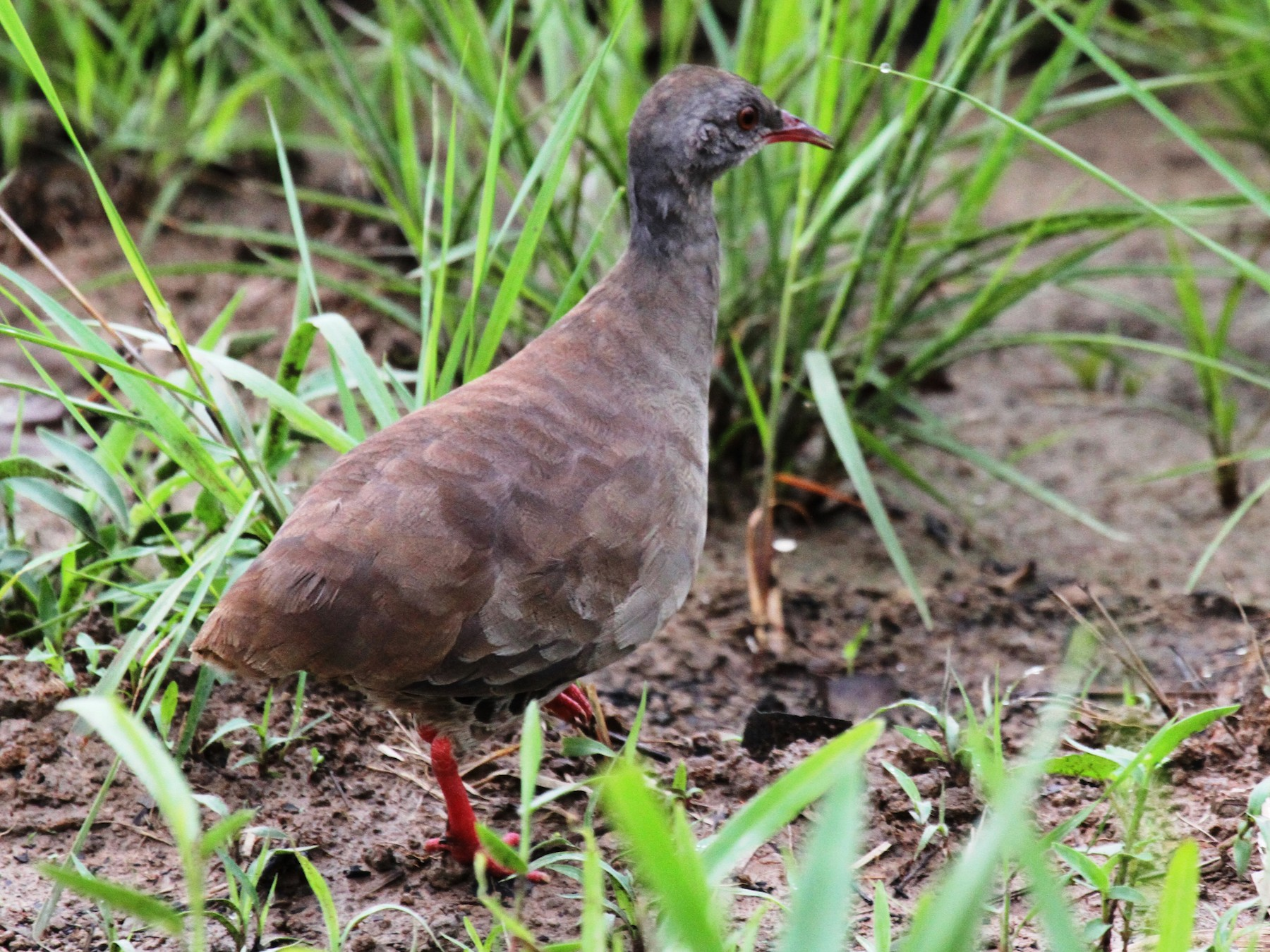 Small-billed Tinamou - Richard Greenhalgh