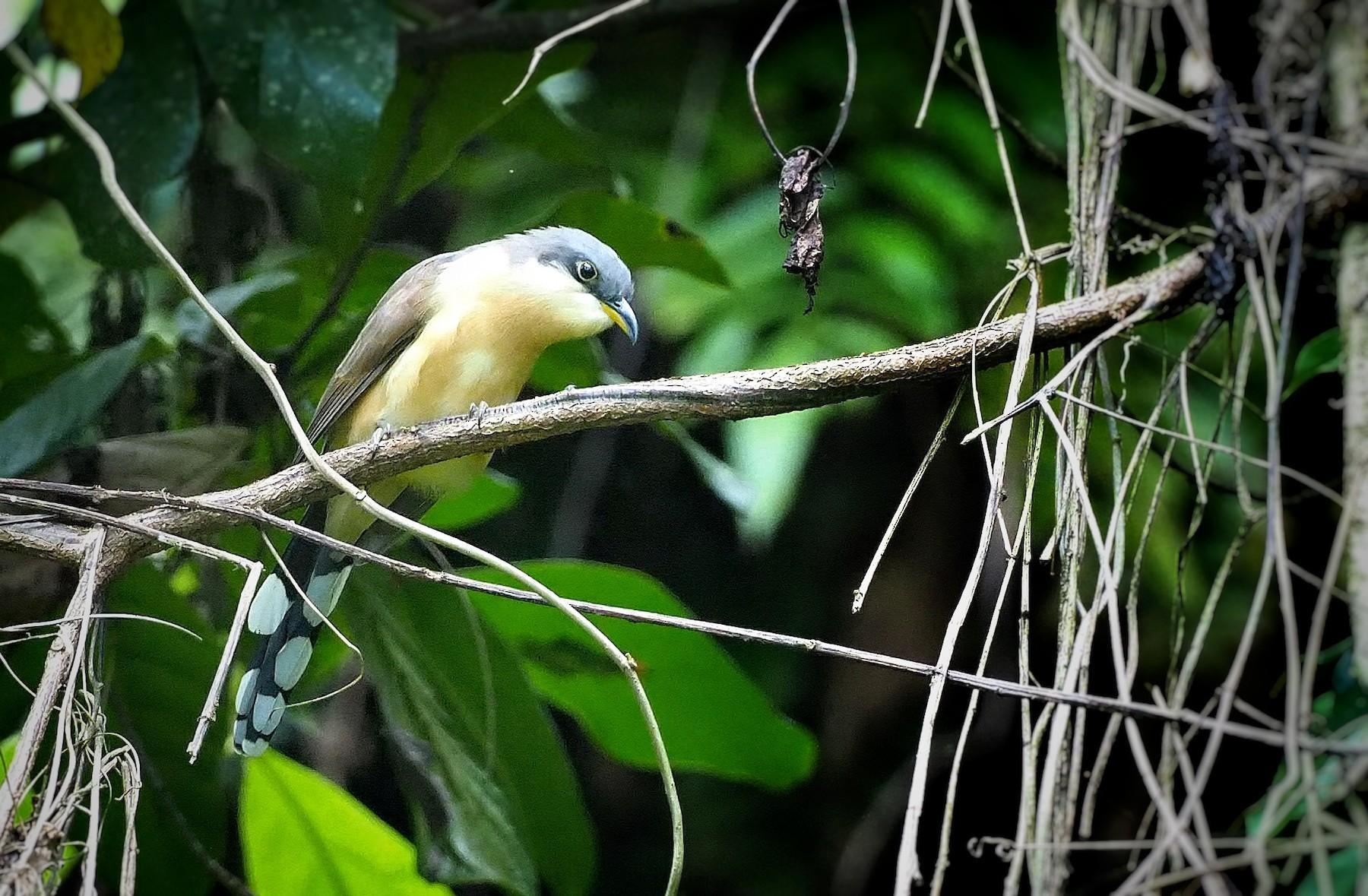 Cocos Cuckoo - Sergio Arias