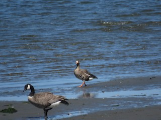 Greater White-fronted Goose, ML255401371
