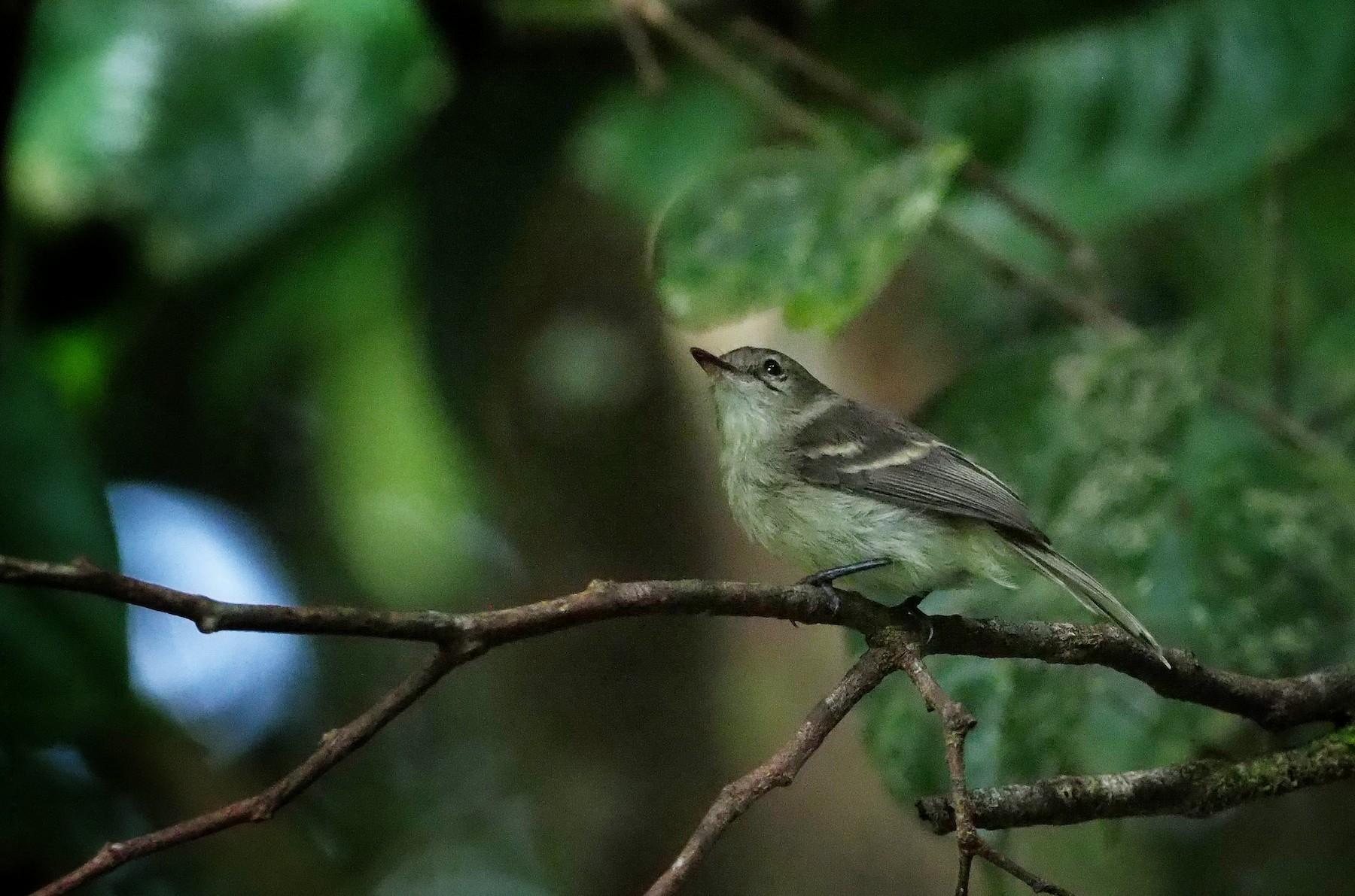 Cocos Flycatcher - Sergio Arias