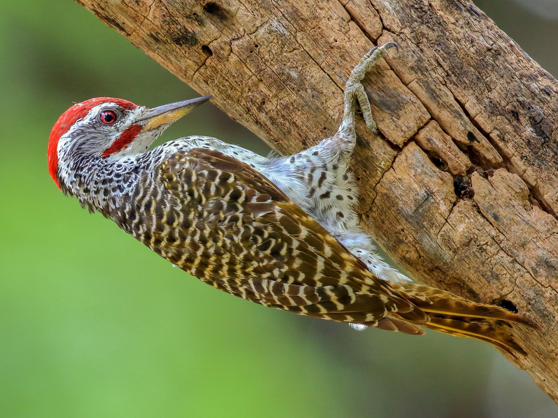 Reichenow's Woodpecker - Michael Ortner