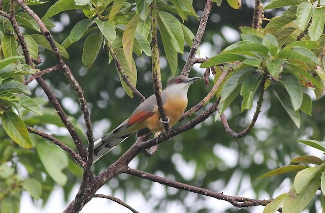 Jamaican Lizard-Cuckoo