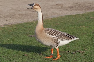 Swan Goose, ML255847471