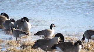 Cackling Goose, ML25598311