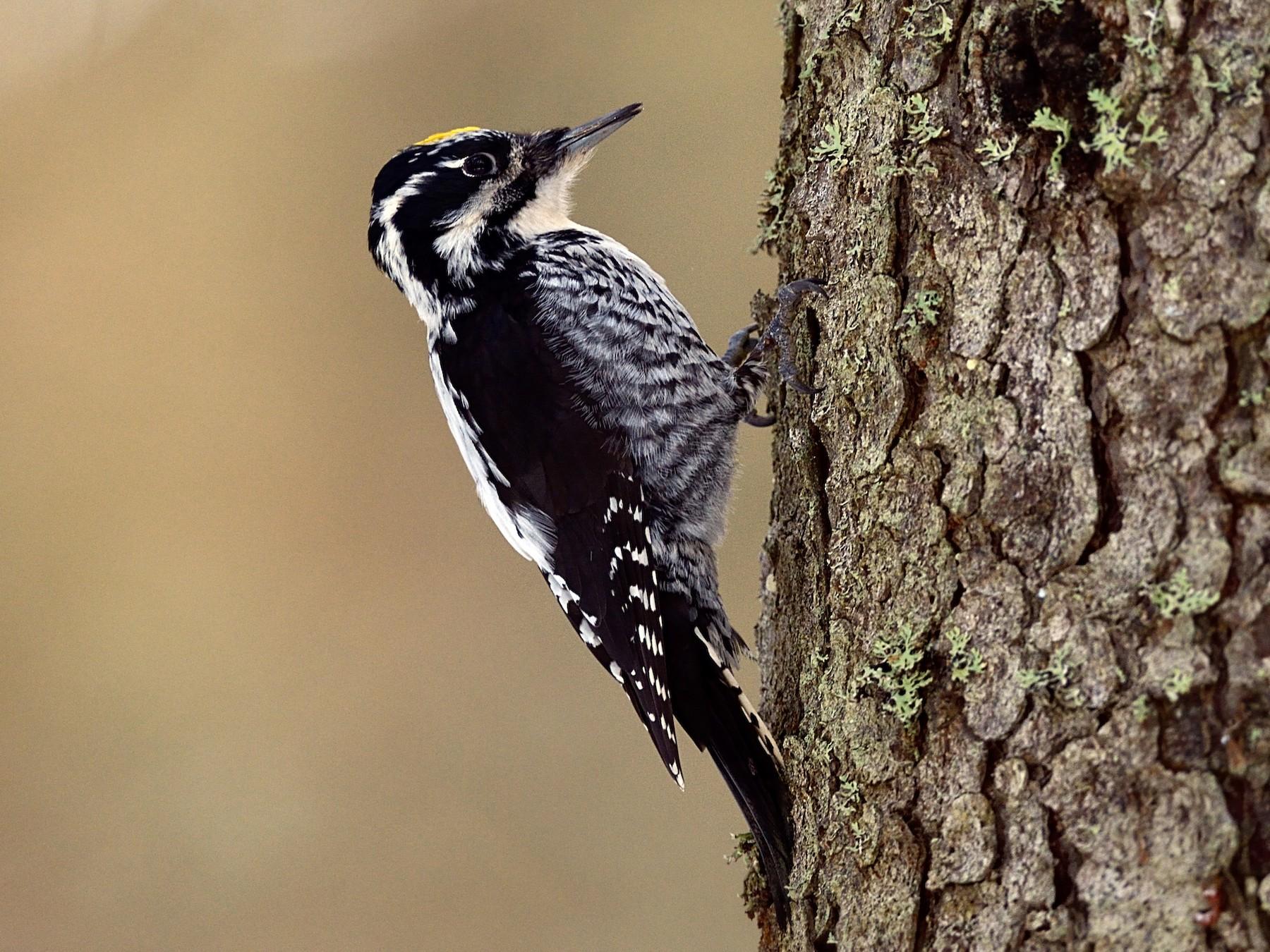 Eurasian Three-toed Woodpecker - Hans Norelius
