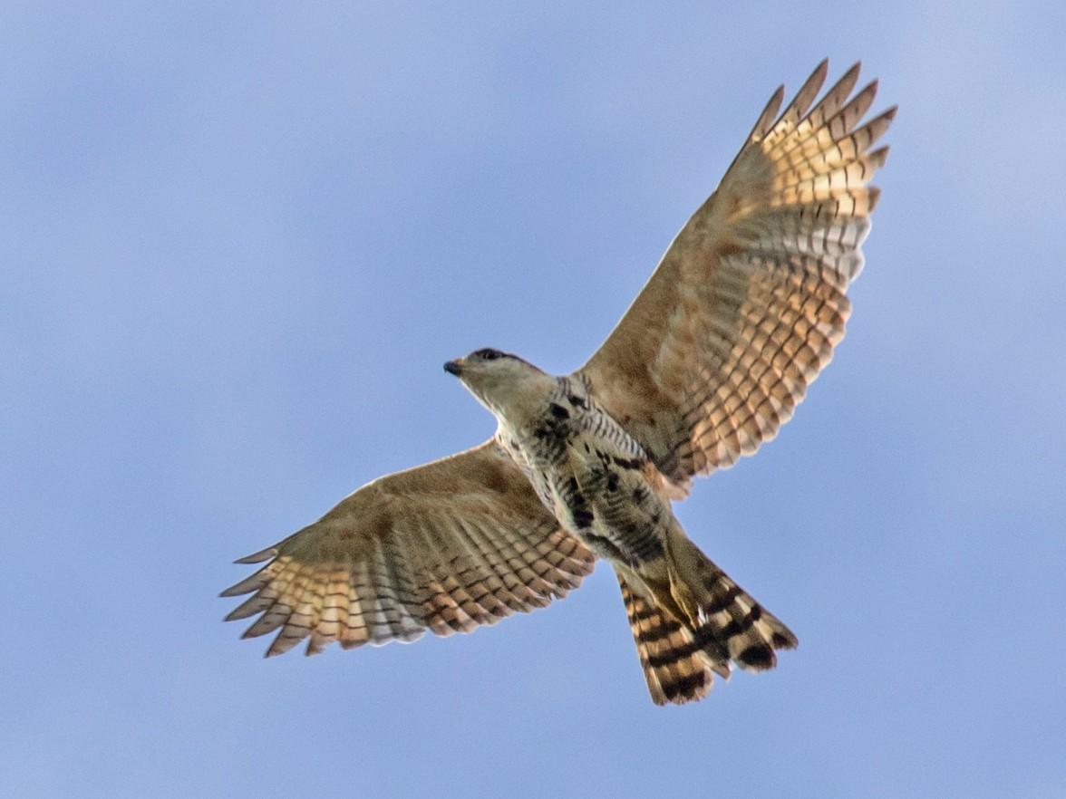 Gray-lined Hawk - Kamal Mahabir