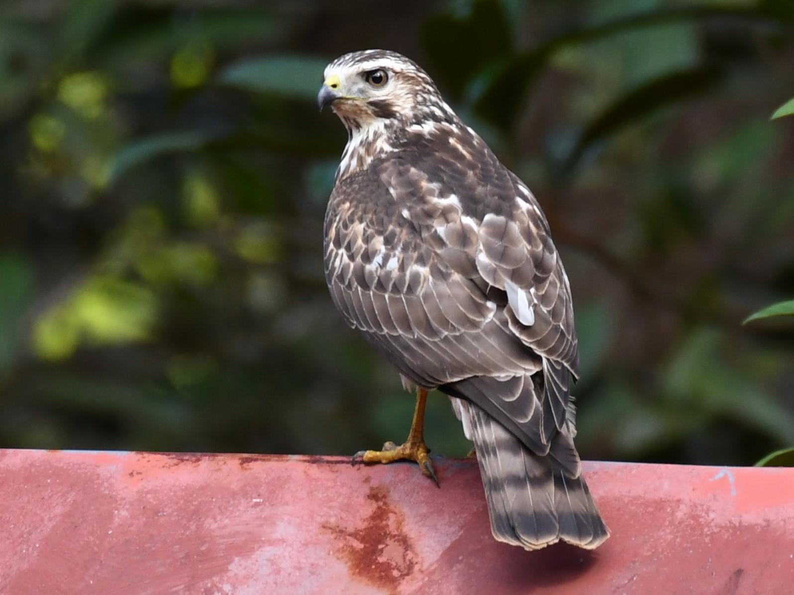 Gray-lined Hawk - Simon Kiacz