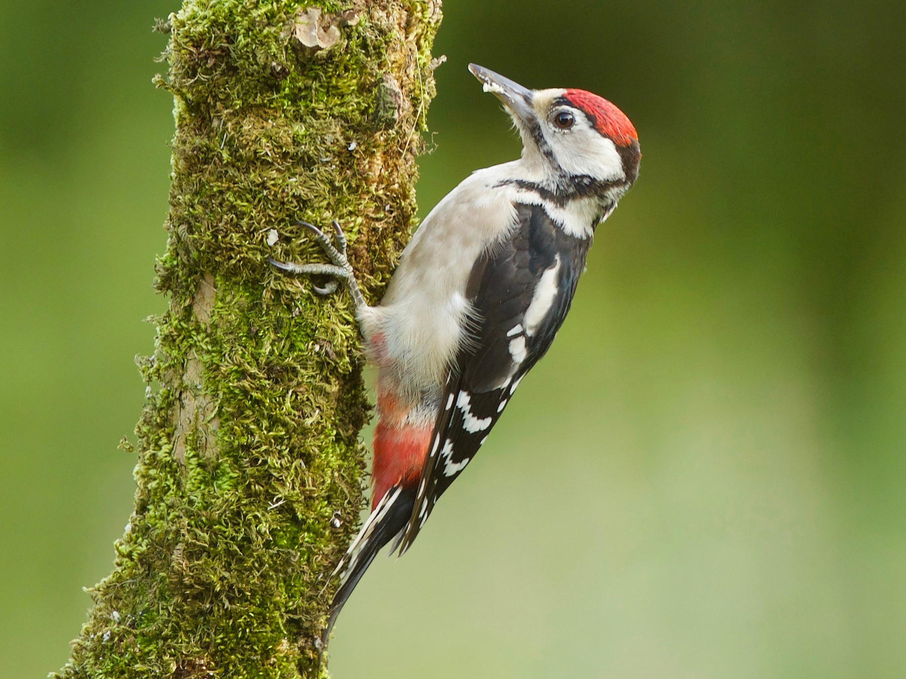Great Spotted Woodpecker - Dominic Garcia-Hall