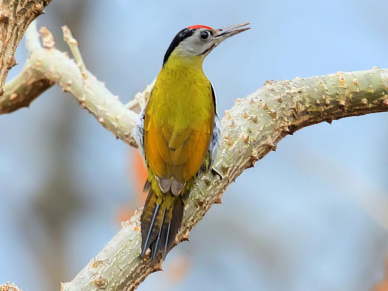 Gray-headed Woodpecker - Manish Panchal