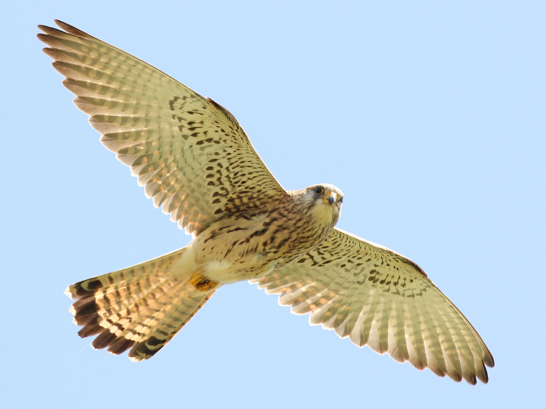 Lesser Kestrel - Phillip Edwards
