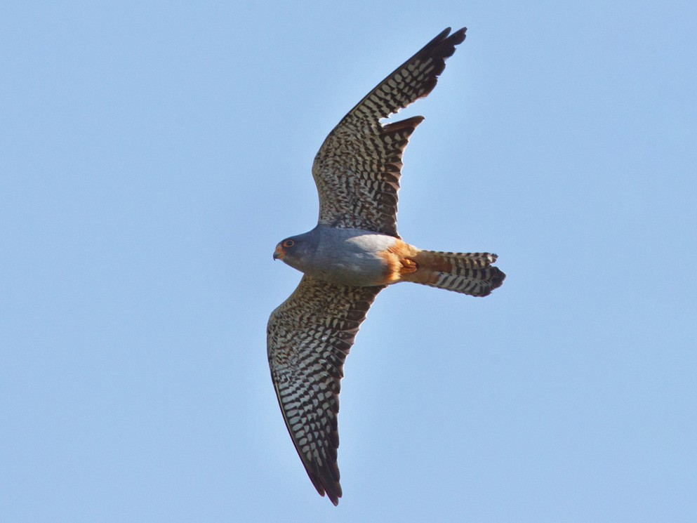 Red-footed Falcon - Lars Petersson