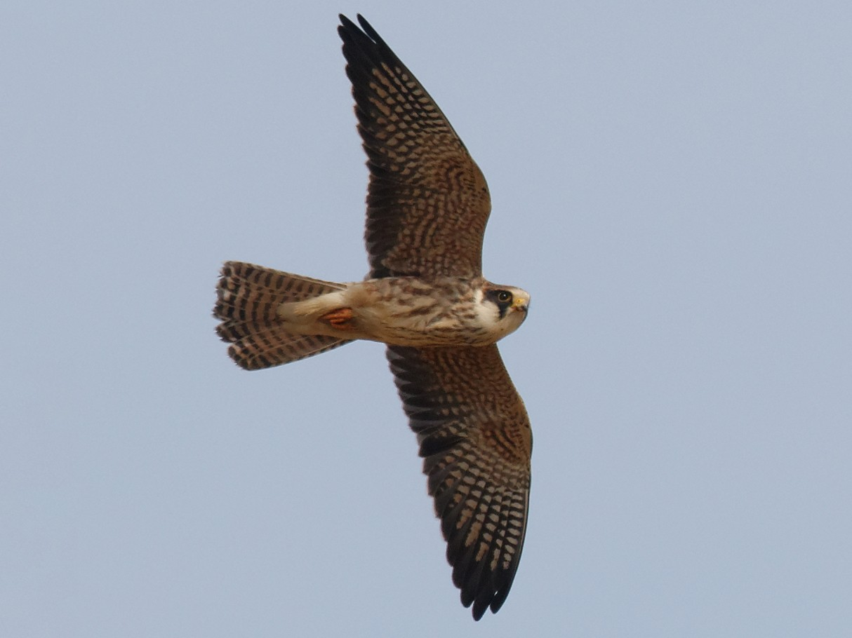 Red-footed Falcon - Johan Mellquist