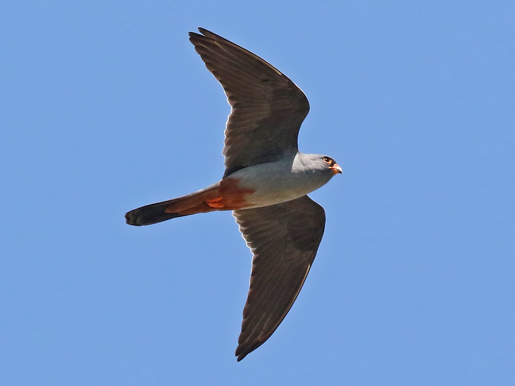 Red-footed Falcon - Phillip Edwards