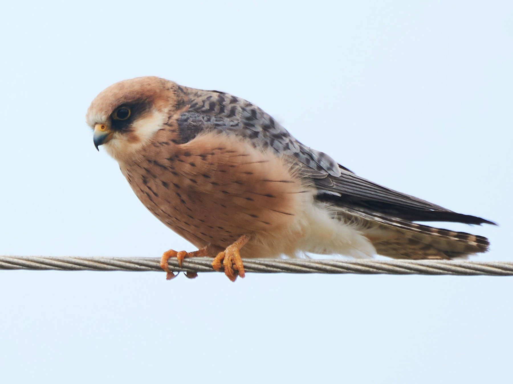 Red-footed Falcon - Miguel Rouco