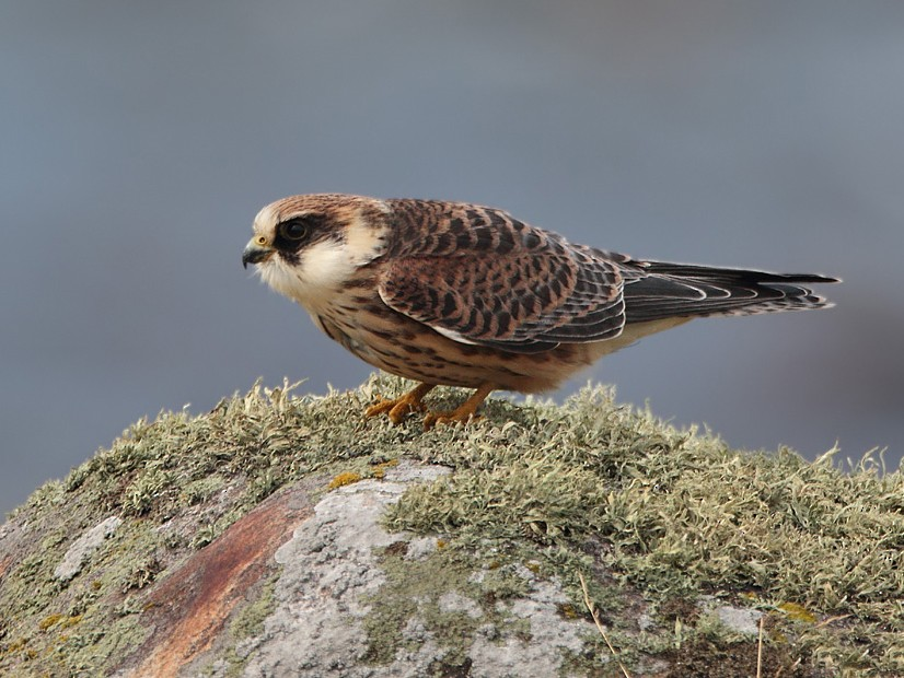 Red-footed Falcon - Lasse Olsson