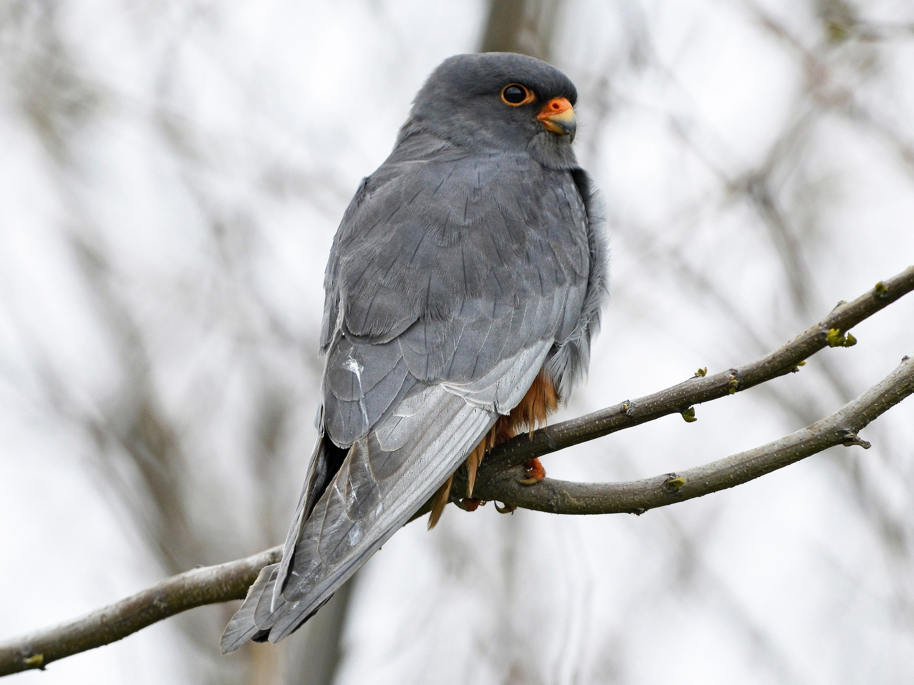 Red-footed Falcon - Tom Heijnen