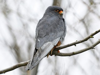 - Red-footed Falcon