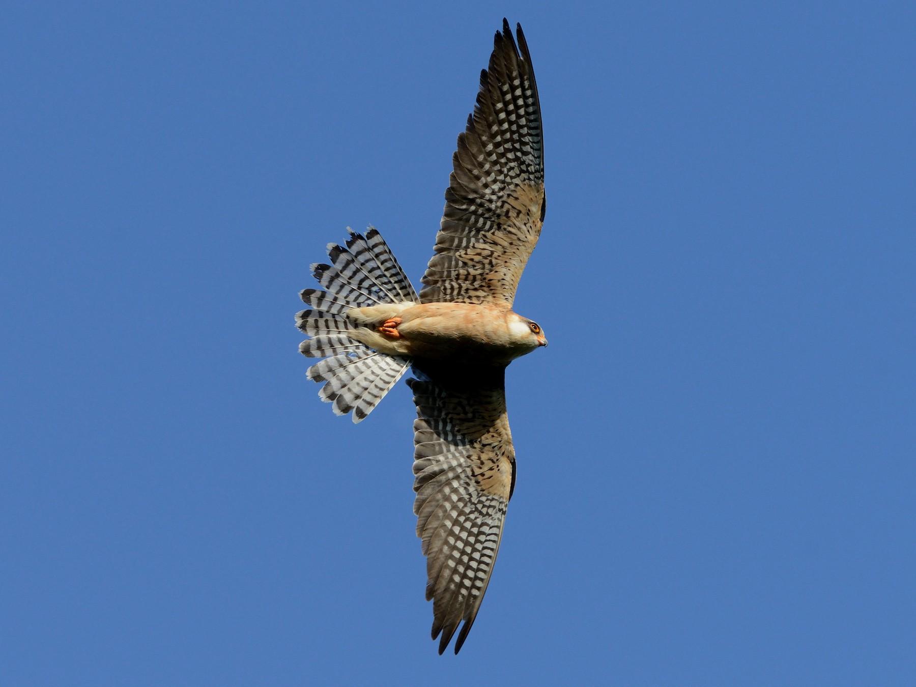 Red-footed Falcon - Pavel Štěpánek