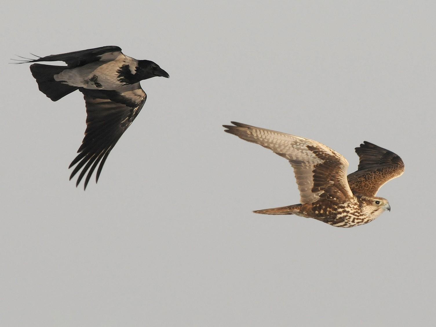 Saker Falcon - Jan Svetlik