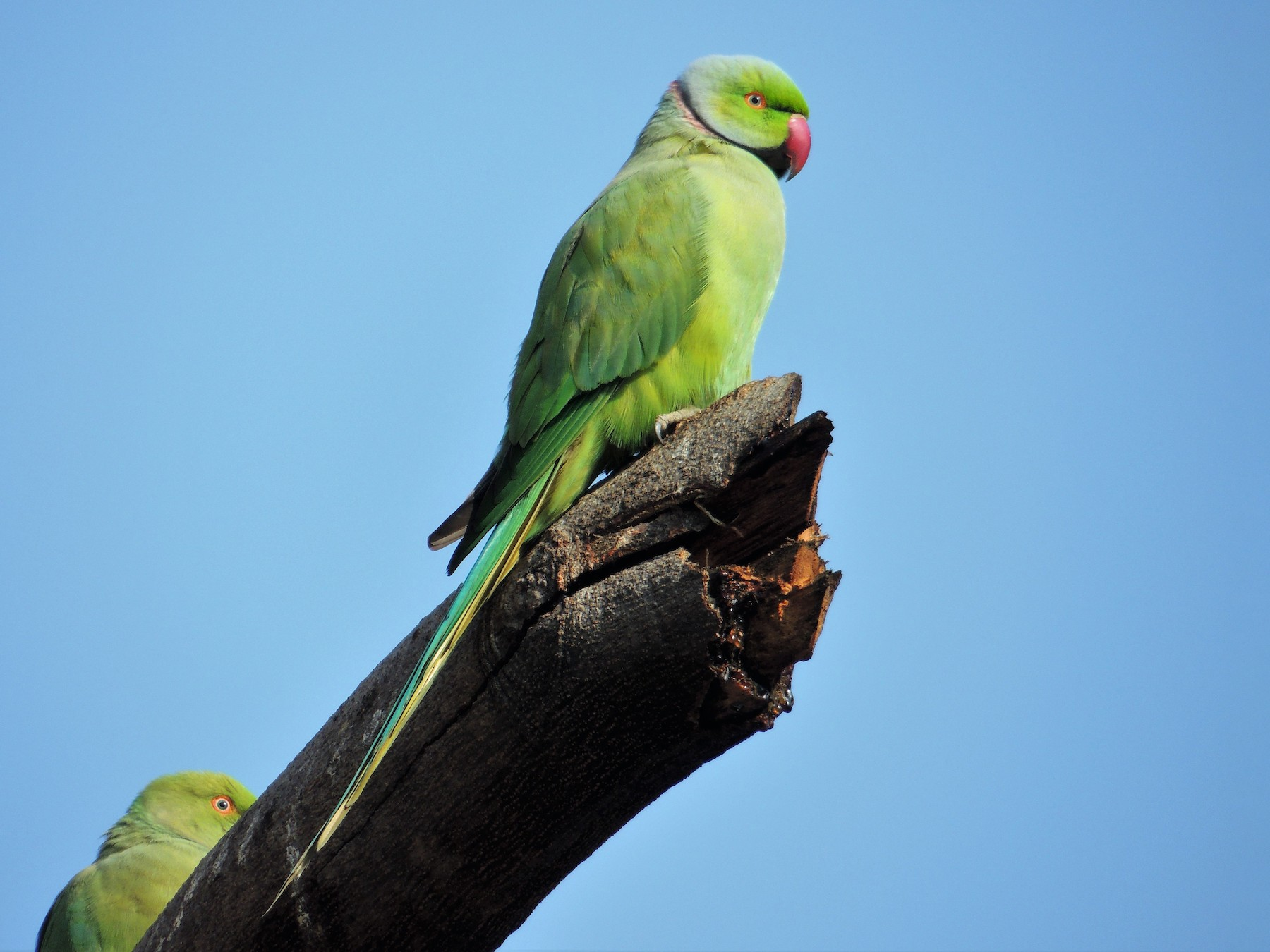 Rose-ringed Parakeet - Todd Pepper