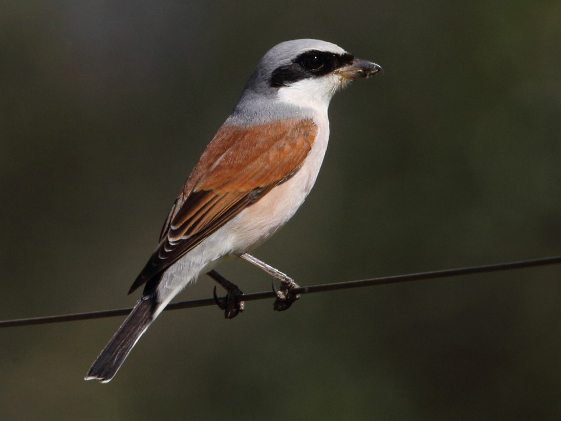 Red-backed Shrike - Nigel Voaden