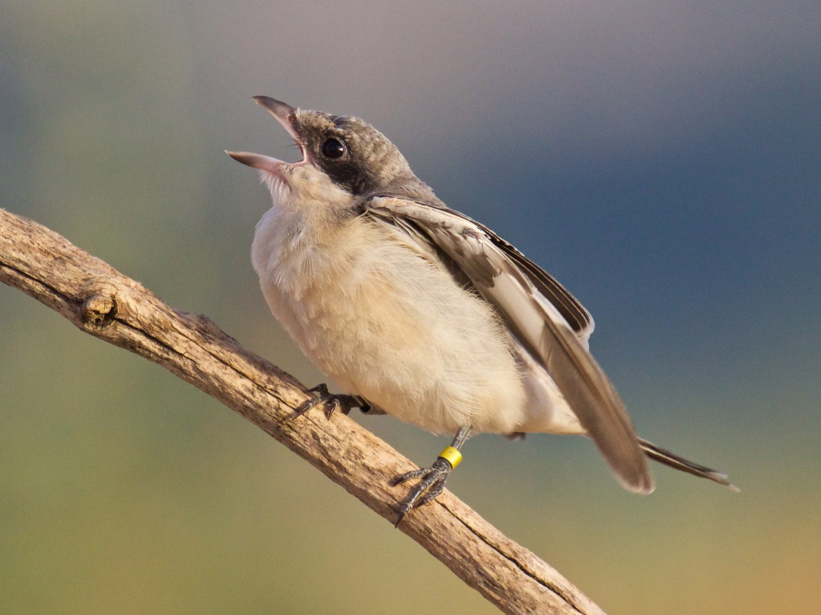 Lesser Gray Shrike - Marc Gálvez