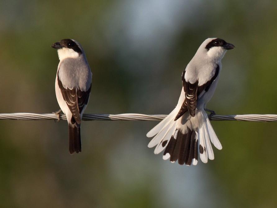 Lesser Gray Shrike - Lars Petersson