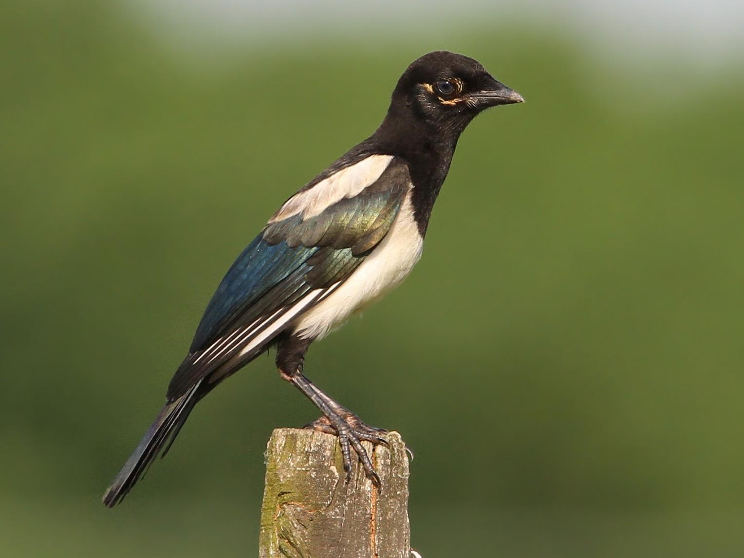 Eurasian Magpie - Christoph Moning