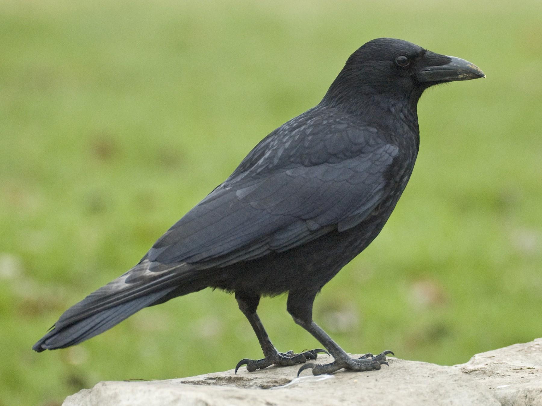 Carrion Crow - Guillermo López Zamora