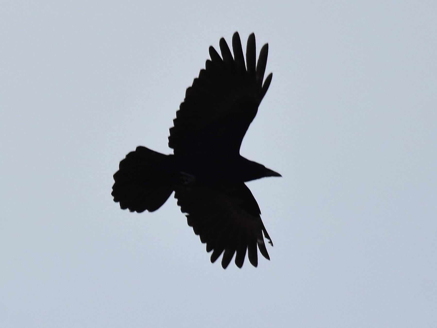 Carrion Crow - Lukasz Pulawski