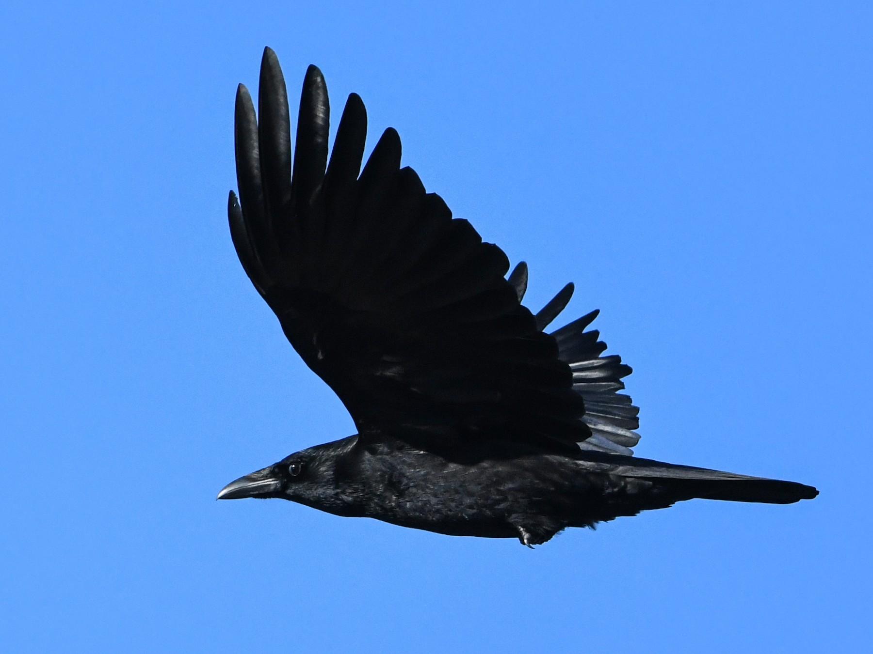 Carrion Crow - Maryse Neukomm