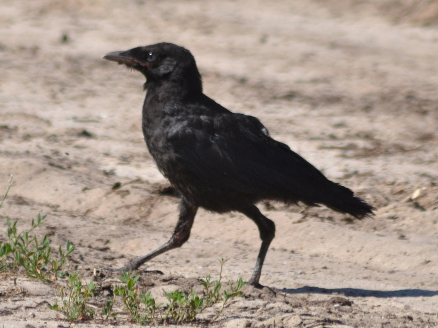 Carrion Crow - Paulo  Roncon