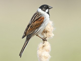 - Reed Bunting